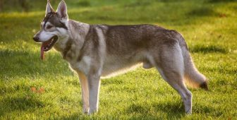 Northern Inuit Dog: Meet A Friendly Wolf-Dog