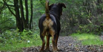 Dog Hemorrhoids – Causes, Symptoms, And Treatment