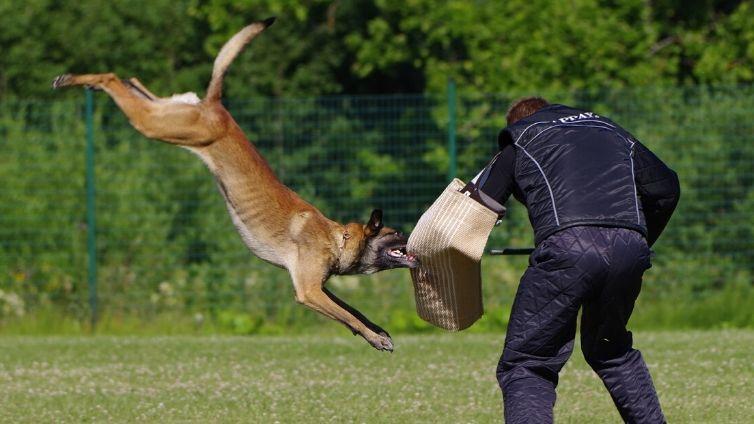 https://barkingroyalty.com/wp-content/uploads/2020/04/schutzhund-malinoa.jpg